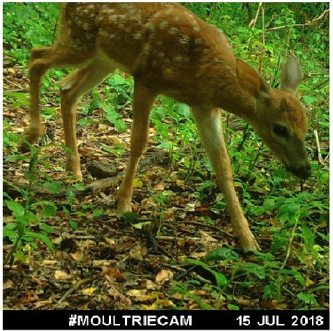 the image of a deer captured by a camera trap